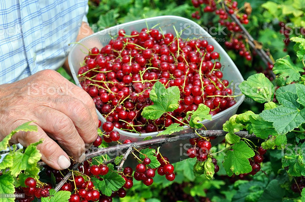 Senior woman picking ripe red currants royalty-free stock photo