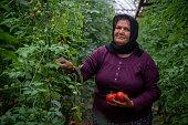 Senior Woman Picking Ripe Tomatoes