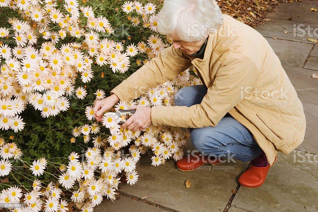 Senior woman pruning Daisy Flowers (Bellis Perennis) in backyard stock photo