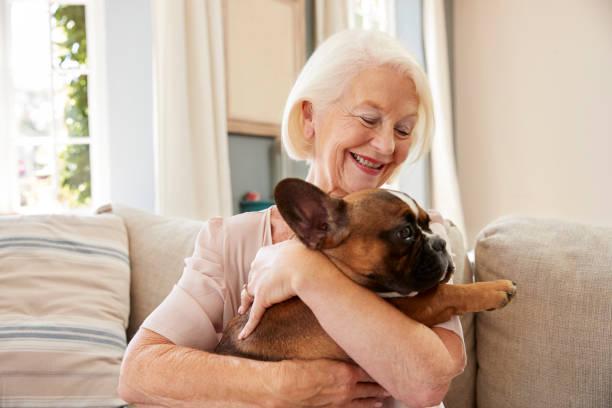 Senior Woman Sitting On Sofa At Home With Pet French Bulldog stock photo
