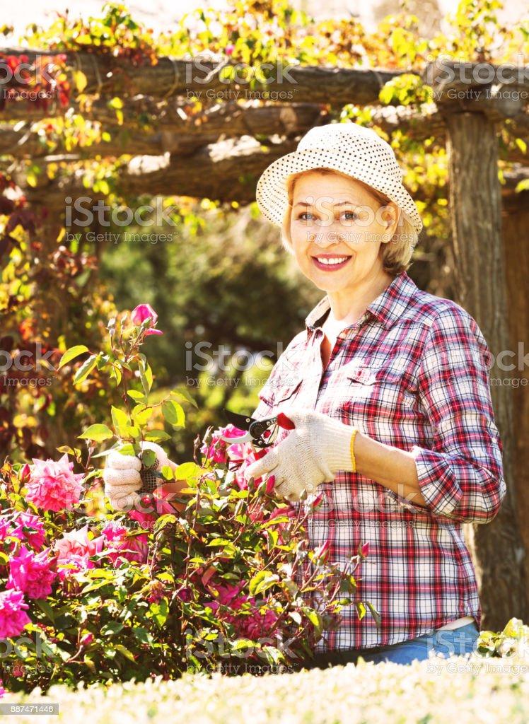 Senior woman trimming a rose-bush in garden stock photo