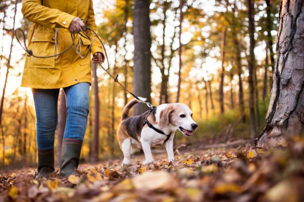 senior kvinna med hund på en promenad i en höst skog. - hund skog bildbanksfoton och bilder