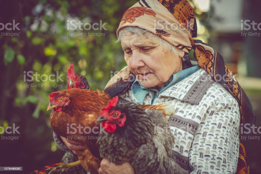 Senior woman with her chicken stock photo