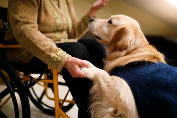 seniorin mit therapiehund zu hause - dressierter hund stock-fotos und bilder