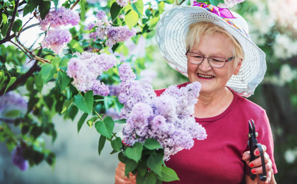 Senior woman working in her garden with a plants. Hobbies and leisure stock photo