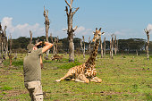 <<Man, nature photographer, taking pictures of a giraffe in Kenya, Africa.>>