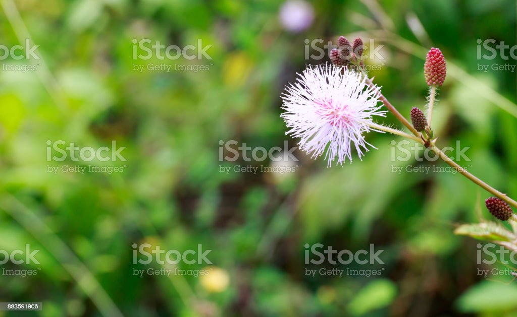 Sensitive Plant, Also Called Touch-Me-Not, Mimosa Pudica, or Shy Plant with Blurry Background stock photo