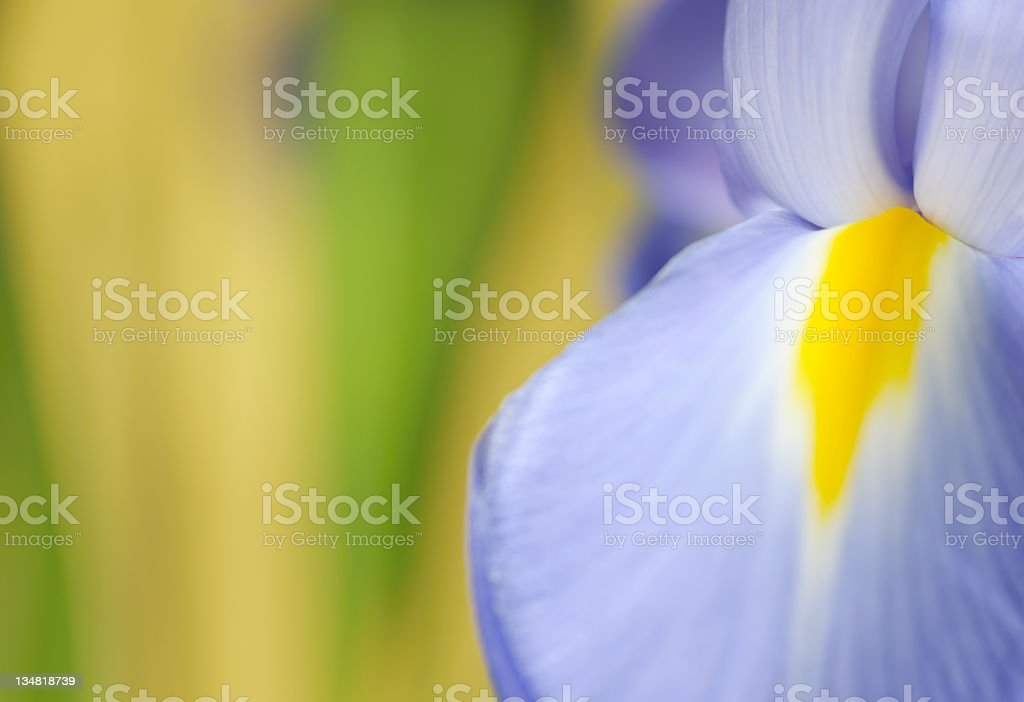 Sensual Iris Flower Close-Up Making a Soft Abstract Impression royalty-free stock photo