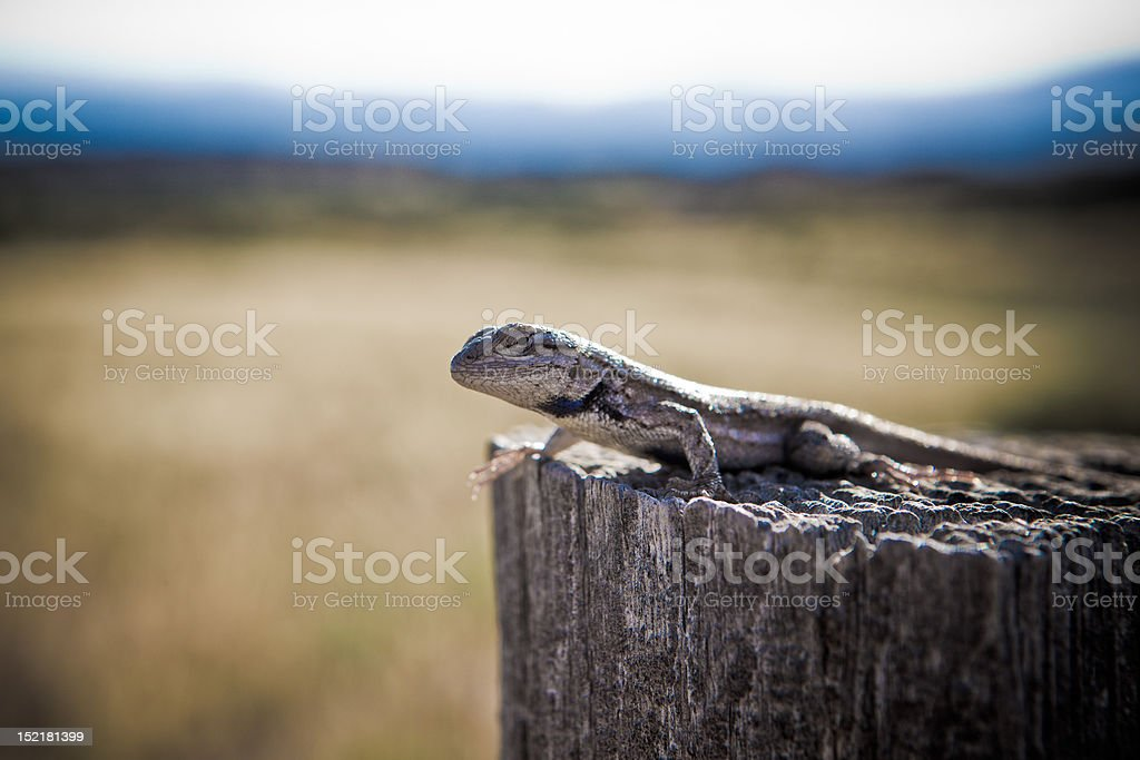 Sentinel Lizard royalty-free stock photo