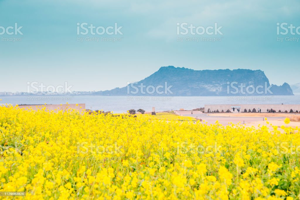 Seongsan Ilchulbong Tuff Cone and yellow rape flower field in Jeju Island, Korea Seongsan Ilchulbong Tuff Cone and yellow rape flower field in Jeju Island, Korea Agricultural Field Stock Photo