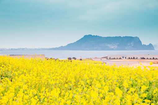 Seongsan Ilchulbong Tuff Cone And Yellow Rape Flower Field In Jeju Island Korea Stock Photo - Download Image Now