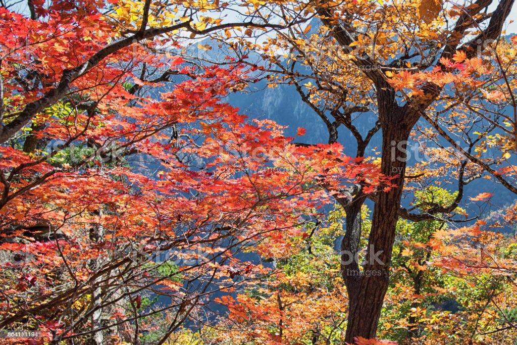 Seoraksan Fall Foliage, 설악산 단풍 royalty-free stock photo