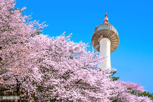 Seoul tower and pink cherry Blossom, Sakura season in spring,Seoul in South Korea.