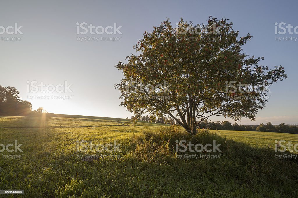 Separate tree in the field on sunrise royalty-free stock photo