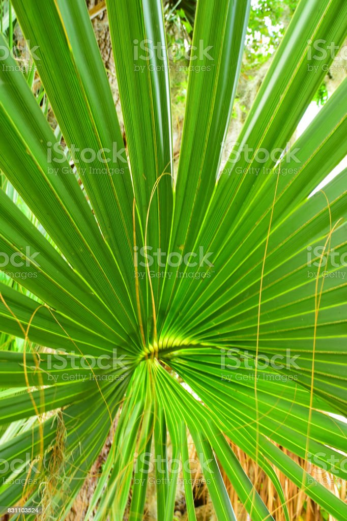 Separating leaf fingers on Cabbage Palm frond stock photo