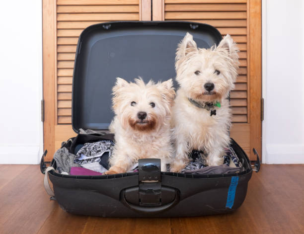 Separation anxiety: two scruffy west highland white westie terrier dogs are in packed suitcase stock photo
