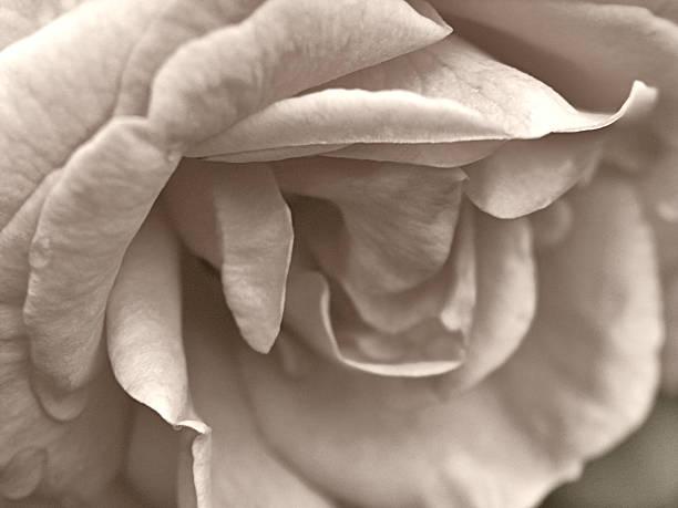 Sepia Flower stock photo
