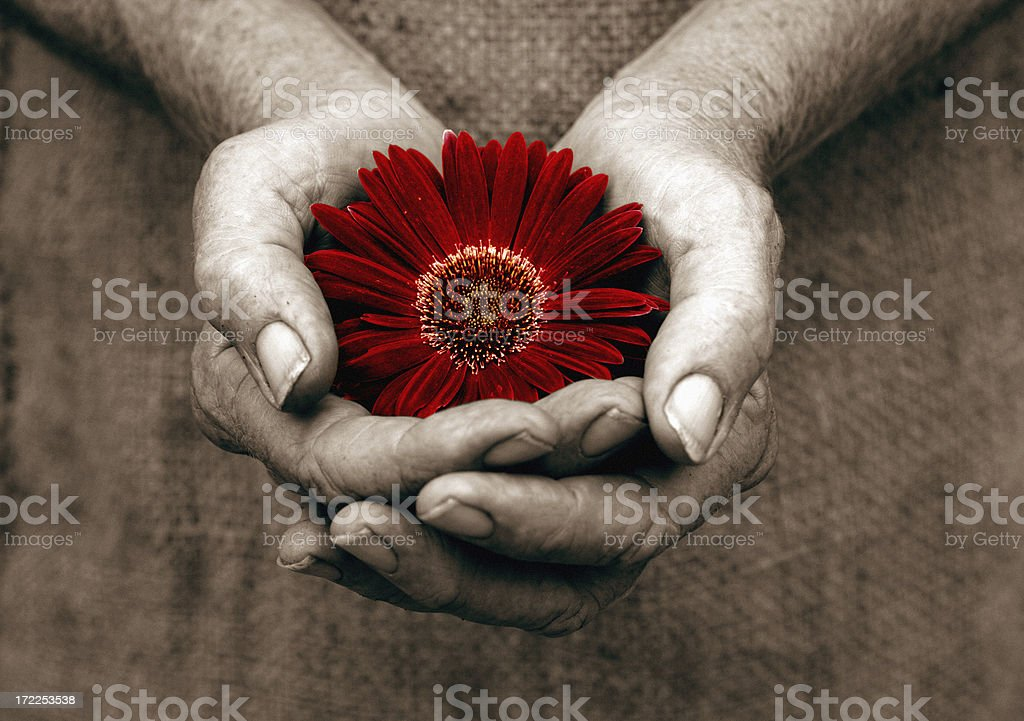 Sepia hand holding a deep red flower as a gift royalty-free stock photo