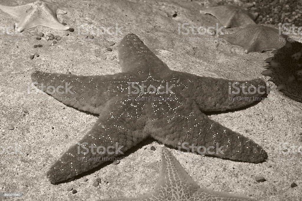 Seppia stella di foto stock royalty-free
