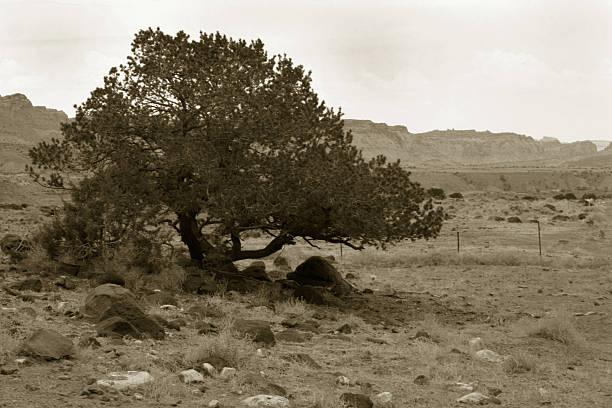 sepia tree against desert, capitol reef, utah stock photo
