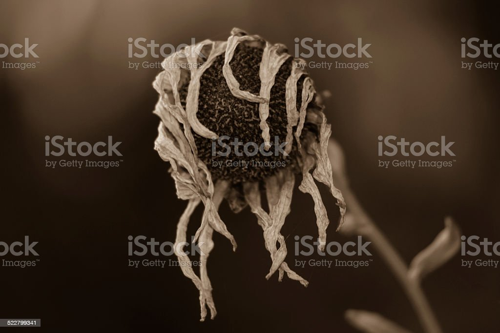 Sepia Wilted Flower stock photo