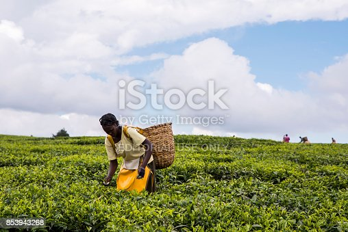 African woman harvesting high quality tender tea leaves and flushes by hand. Between Iten and Eldoret. Young African woman amongst tea bushes.Woven wicker basket on her back bending forward picking tea leaves in preparation for processing. Other pickers in distance. Labor intensive agriculture. Black tea.  Camellia sinensis