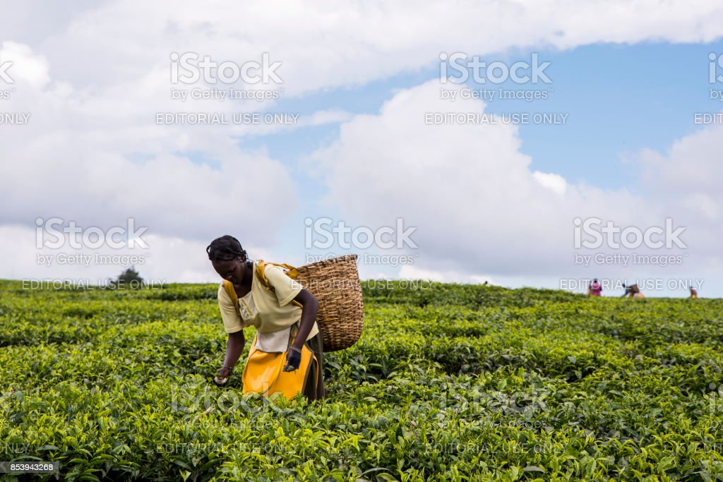 2017 Sept 5 Tea Estate, Nandi Hills, Kenya. African woman picking tea. stock photo