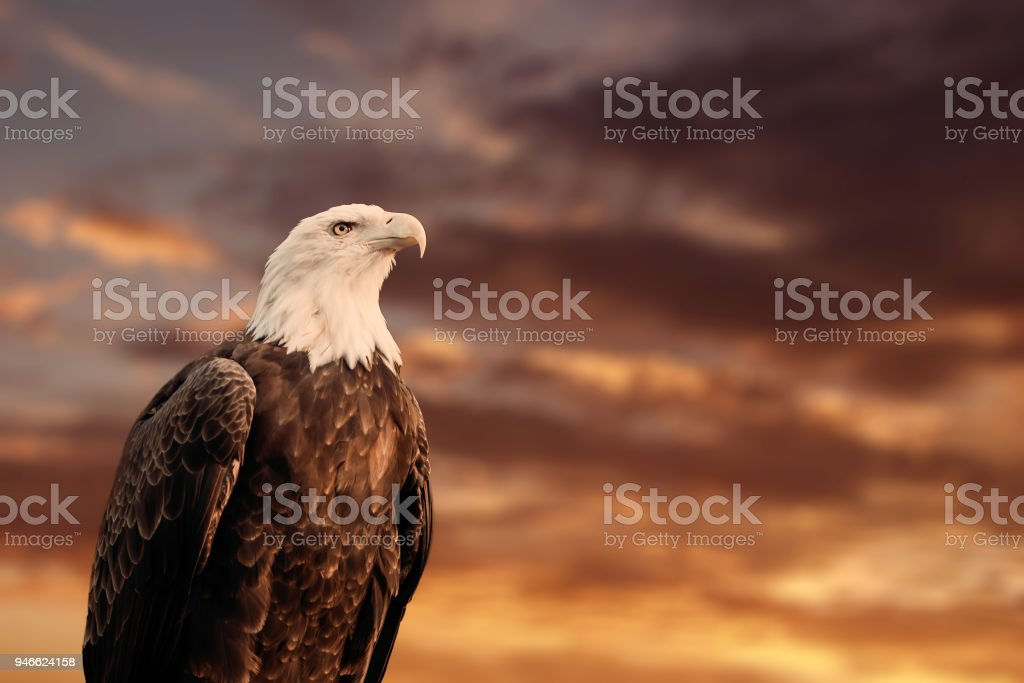 QUEBEC, QC - CANADA September 2012 : Portrait of a proud american bald eagle in front of a blurry cloudy sunset sky. - foto stock
