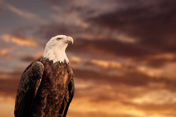 QUEBEC, QC - CANADA September 2012 : Portrait of a proud american bald eagle in front of a blurry cloudy sunset sky. stock photo