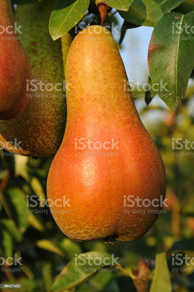 Settembre pears foto stock royalty-free