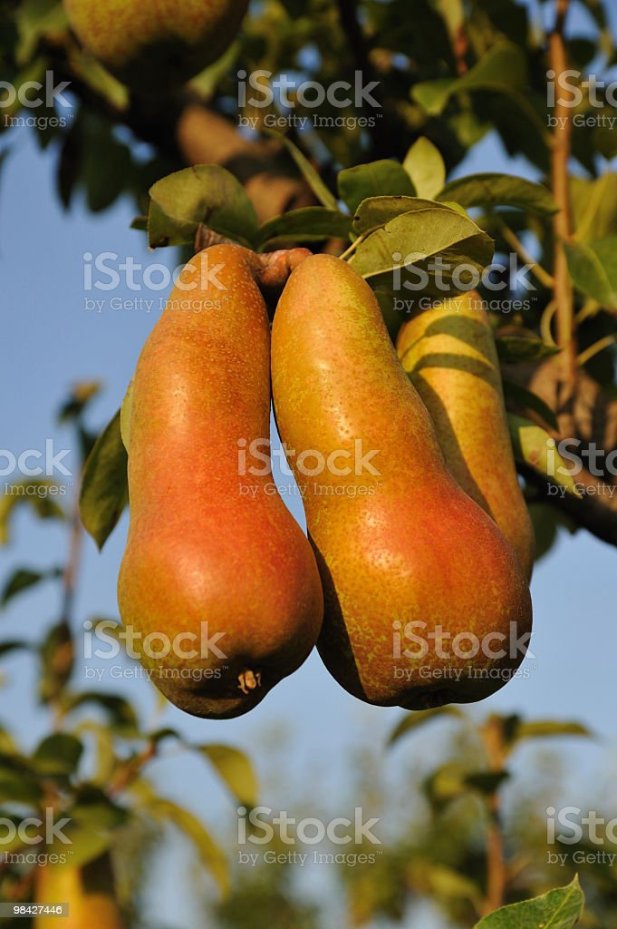 9 pears royalty-free 스톡 사진
