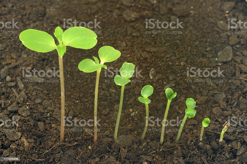 Sequence of Impatiens balsamina flower growing, evolution concept stock photo