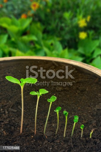 147512291 istock photo Sequence of Impatiens balsamina flower growing, evolution concept 177025493
