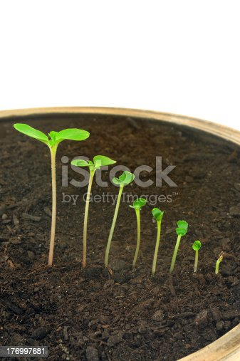 147512291 istock photo Sequence of Impatiens balsamina flower growing, isolated, evolution concept 176997681