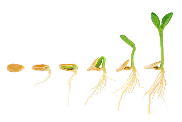 sequence of pumpkin plant growing isolated, evolution concept - seed stock photos and pictures