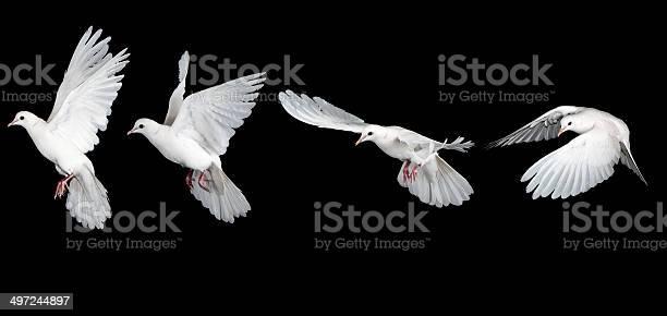 Sequence of white dove flying picture id497244897?b=1&k=6&m=497244897&s=612x612&h=df tvdg8avl2aojt1i7b9 auub8zfu3mrnv2etk7ufi=