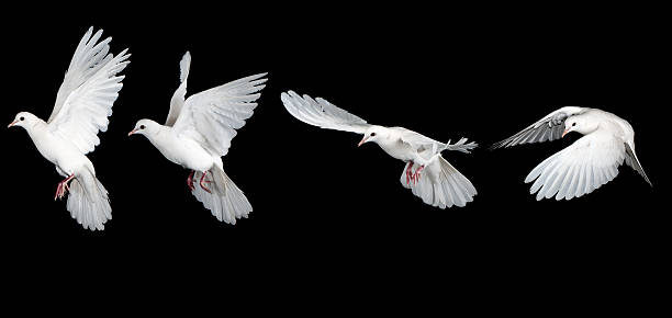 Sequence of white dove flying stock photo