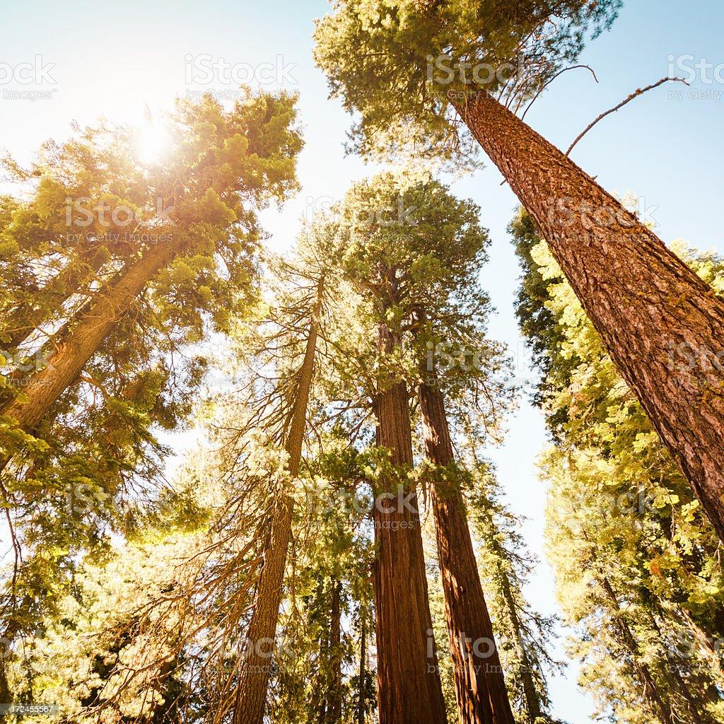 Sequia National Park tree in Autumn stock photo