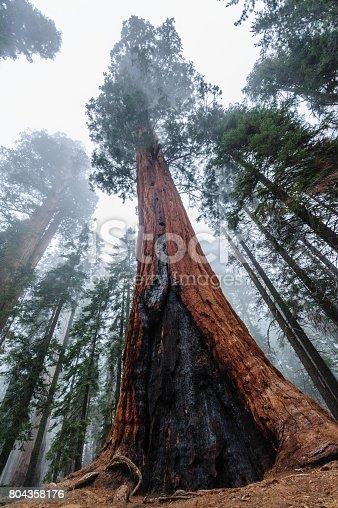 Giant Sequoia's in Sequoia National Park, California, USA.