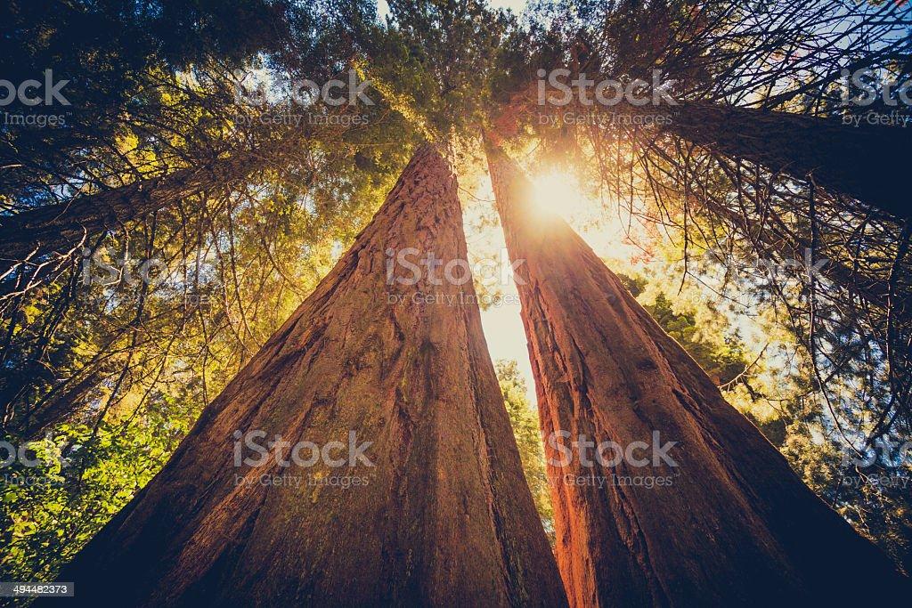 Sequoia floresta e pelas folhas de sol - foto de acervo