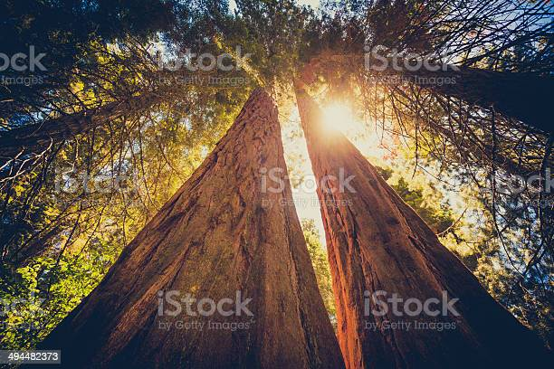 Photo of Sequoia Forest and Sun Throught the Leaves