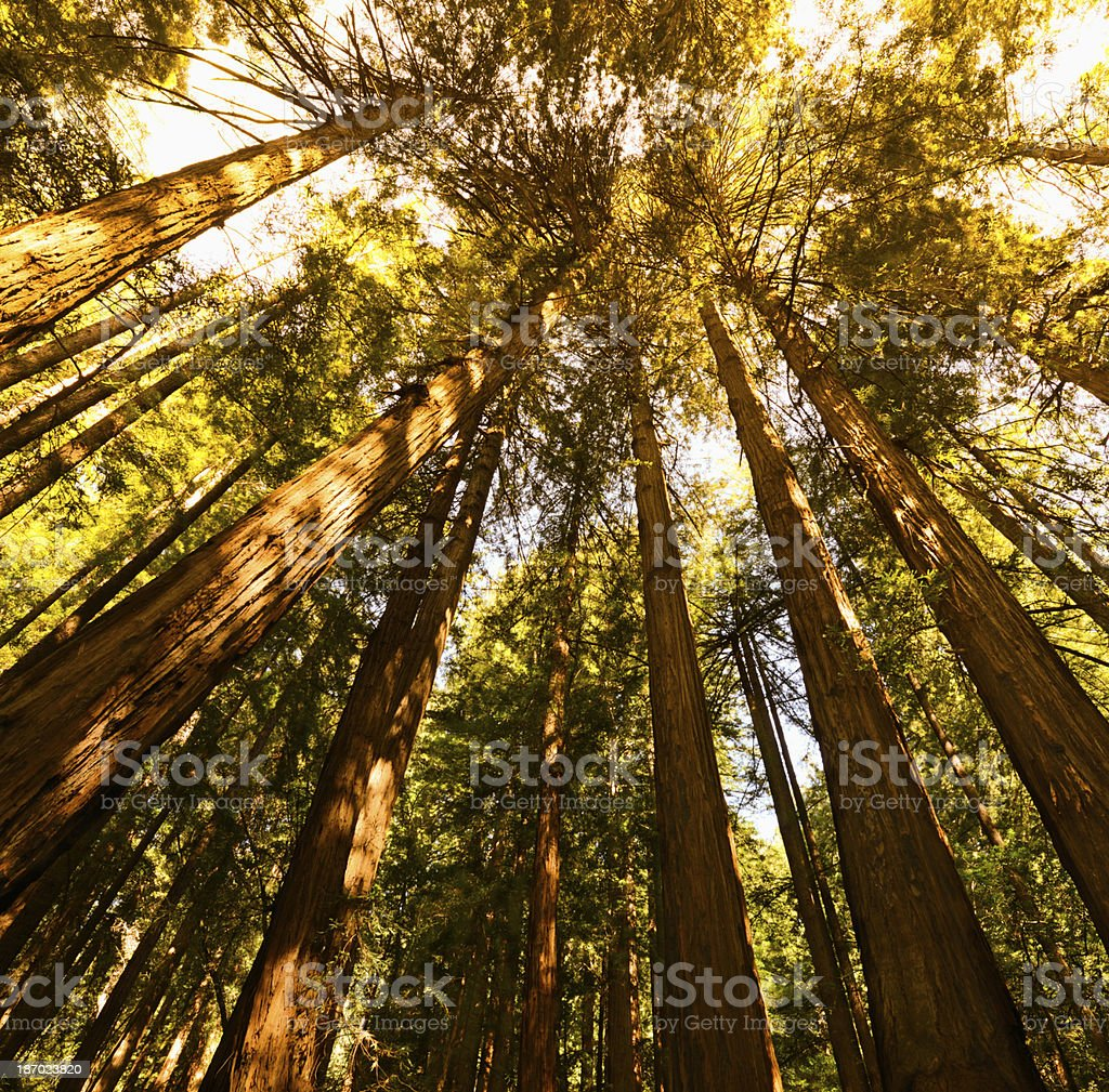 Sequoia Forest royalty-free stock photo