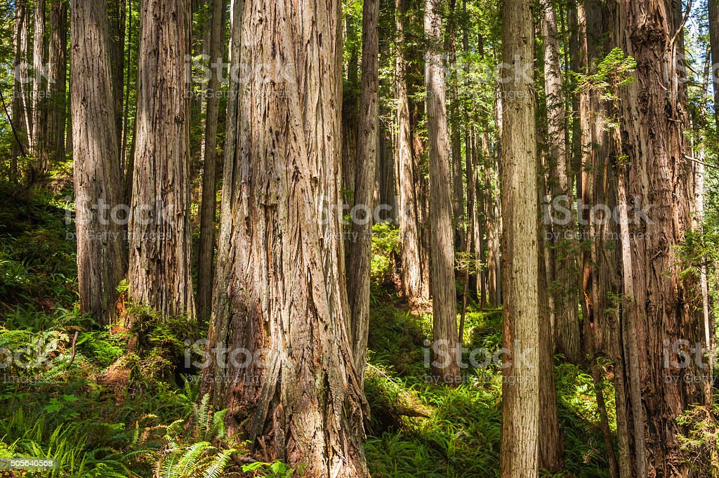 Sequoia grove in tranquil fern forest Redwood NP California USA stock photo