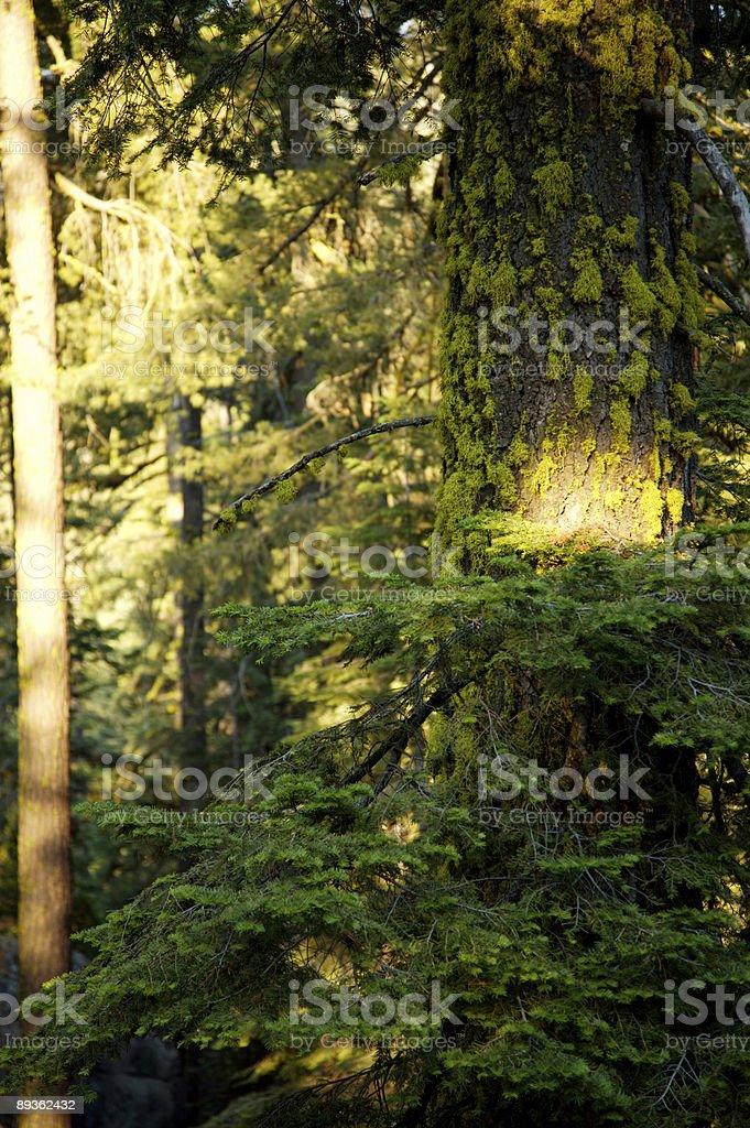 sequoia national forest coulisses photo libre de droits