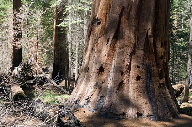 Sequoia National Park: Burnt Trunk foto