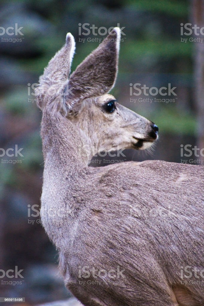 Sequoia National Park Mule Deer - Royalty-free Animal Stock Photo