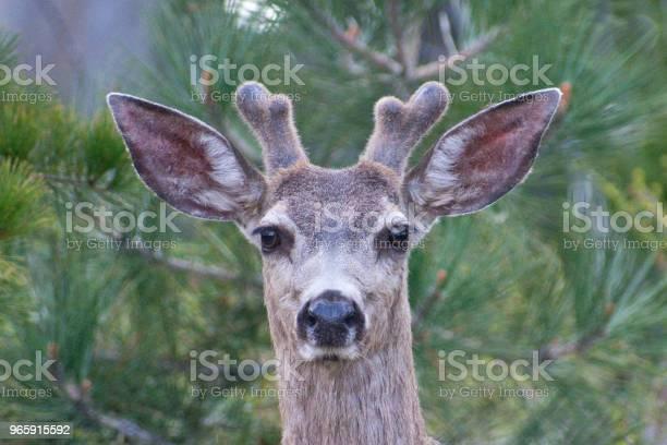 Nationaal Park Sequoiamuildierhert Stockfoto en meer beelden van Afgelegen