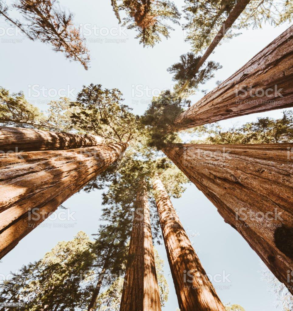 sequoia national park trees stock photo