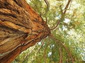 Fotografie eines riesigen Baumes den Stamm hinauf.