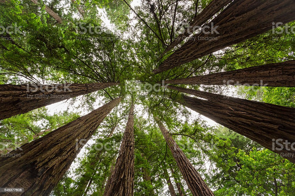 Sequoia stock photo